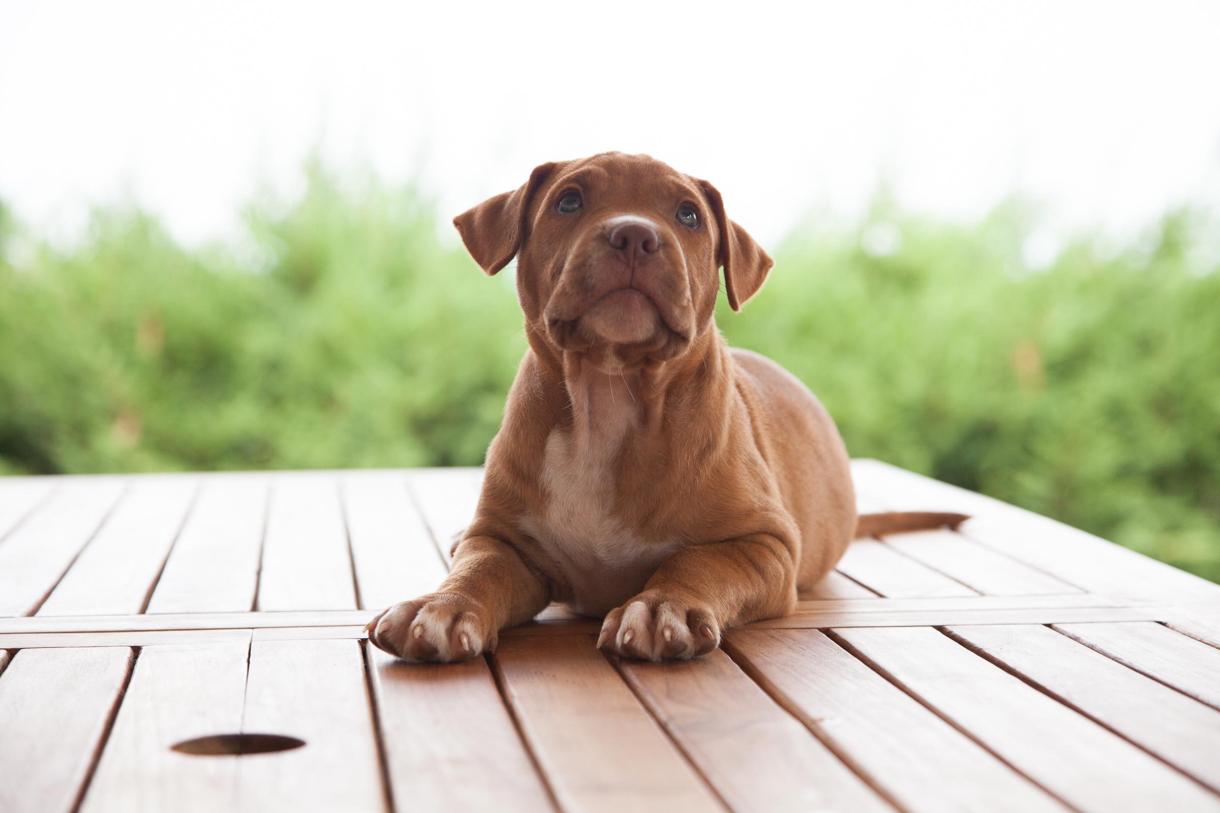 bm30-cucciolo-pitbull-4957